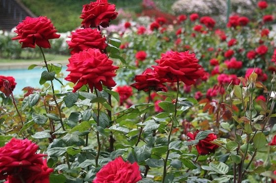 How To Care For Roses Bob Vila