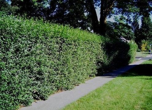 Villagewalkbonita-Privet-hedgerow