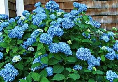 WhiteFlowerFarm-Hydrangea-macrophylia-Endless-Summer