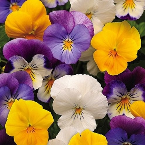 Fall Plants - Pansies