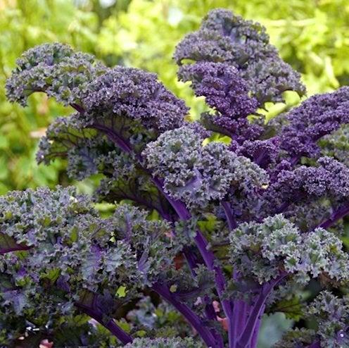 Fall Plants - Kale
