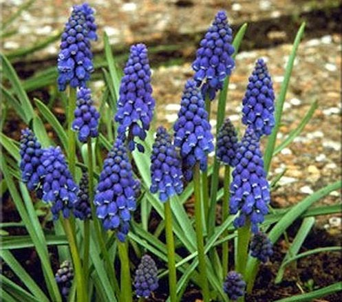 Planting for Fall - Muscari