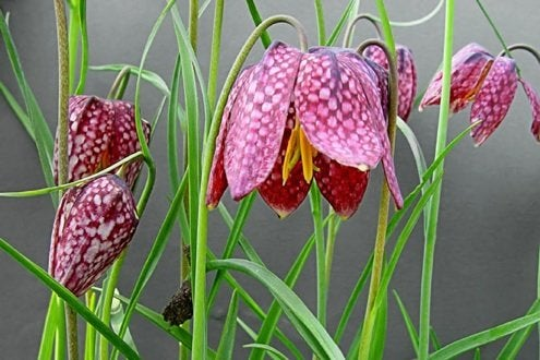 Planting for Fall - Fritillaria