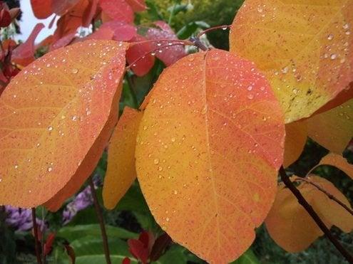 Fall Bushes - American Smoketree