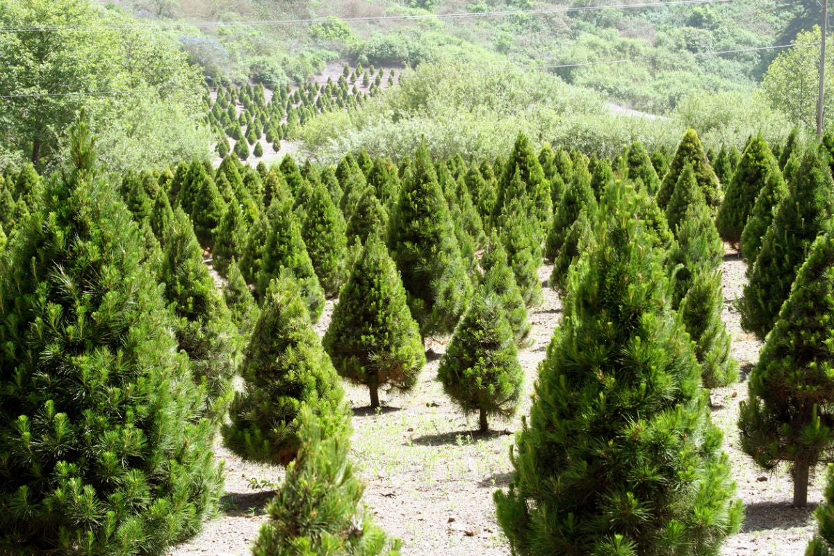 Christmas Tree Types.5 Best Christmas Tree Types To Choose From Bob Vila