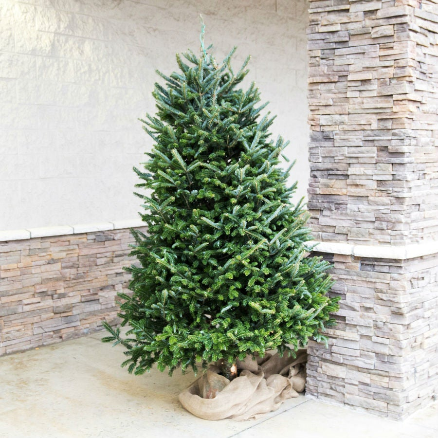 Fraser Fir Christmas Trees: 5 Best Christmas Tree Types To Choose From