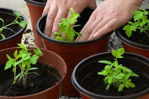 repotting tomato seedlings