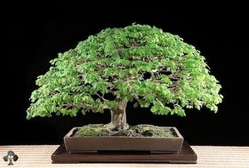 Bonsai Care - Brazilian Rain Tree