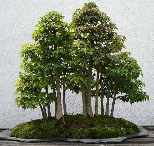 Bonsai Care - Trident Maple Bonsai