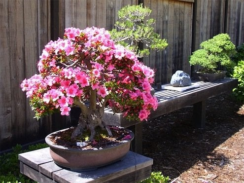 flowering bonsai