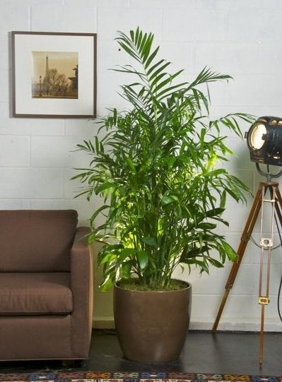 Plants to Improve Indoor Air Quality - Bamboo Palm