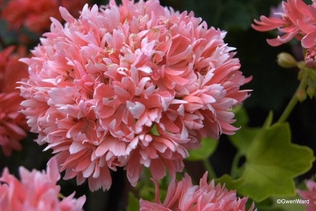 Choosing Geraniums - Rushmoor Golden Ruffles
