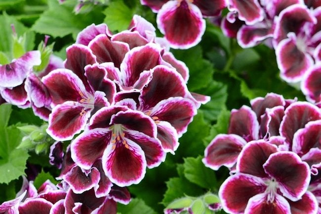 Choosing Geraniums - Martha Washington