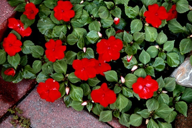 Downy Mold and Impatiens - Red Variety