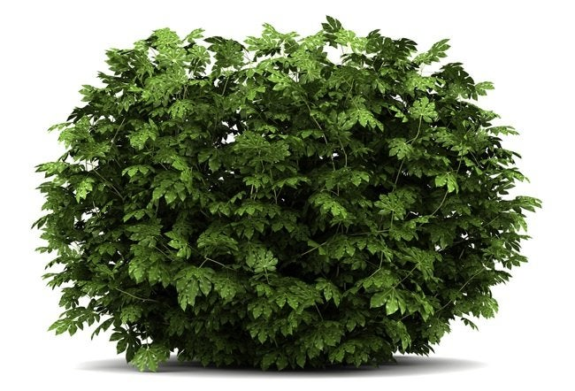 How to Plant a Bush