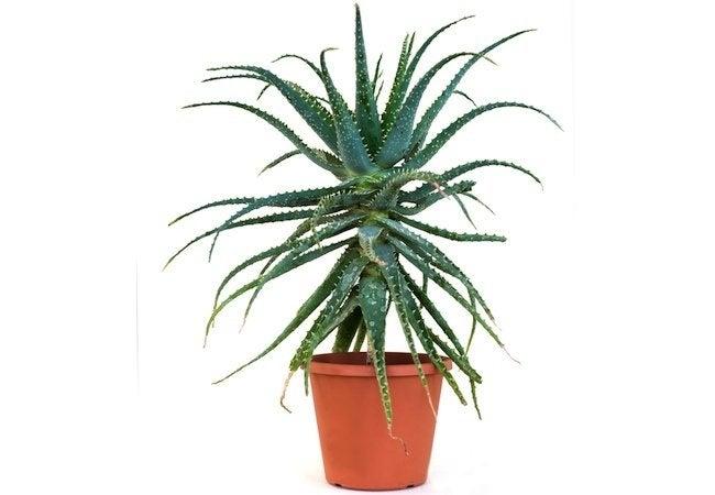 Hardy Houseplants