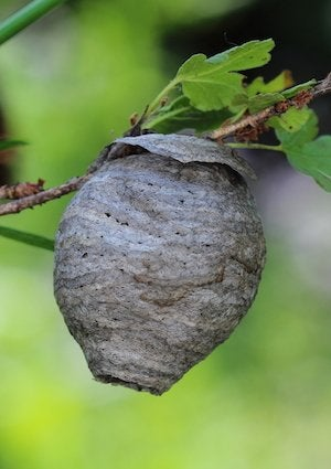 How to Get Rid of Wasps - Nest
