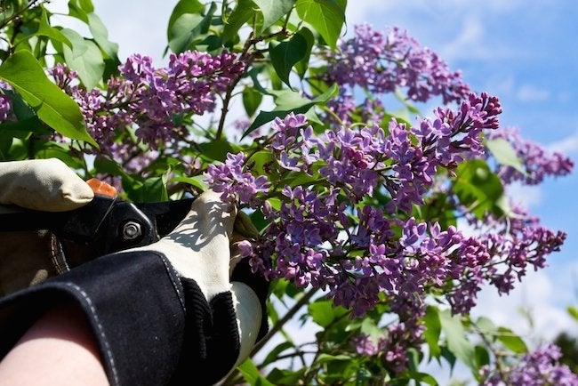 Lilac Pruning