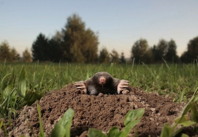 How To Get Rid Of Moles Bob Vila