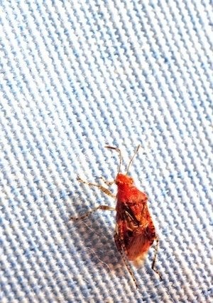 How to Tell If You Have Bedbugs - Sheets