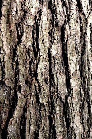How to Identify a Dangerous Tree - Bark Detail