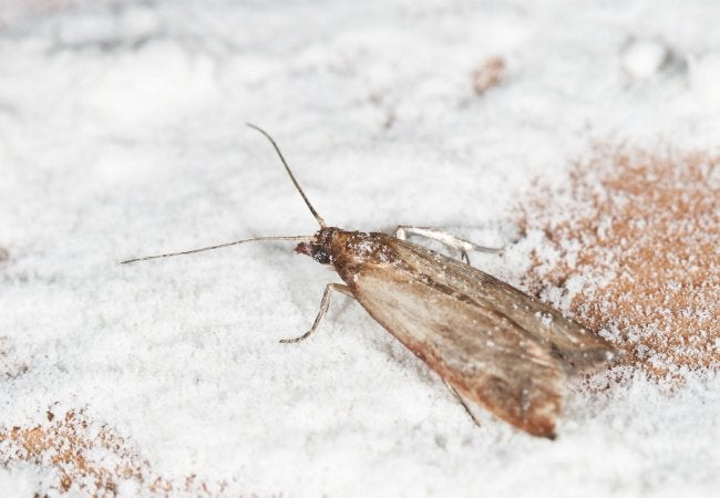 Ordinaire How To Get Rid Of Pantry Moths