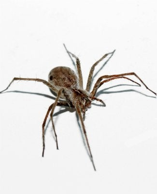 Get Rid Of Wolf Spiders Naturally