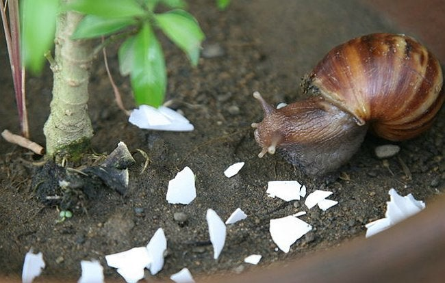 Uses for Eggshells - Get Rid of Snails and Slugs