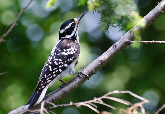 How to Get Rid of Woodpeckers - Woodpeckers