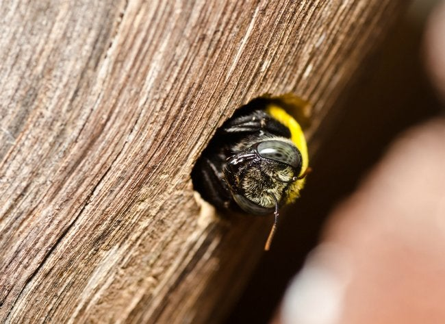 Getting Rid of Carpenter Bees