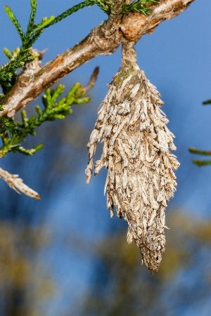 How to Get Rid of Bagworms - Bagworm Cocoon