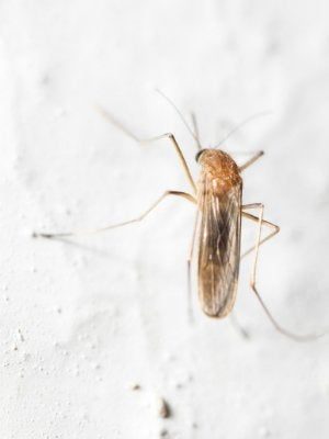 How to Get Rid of Gnats in the House - On the Wall