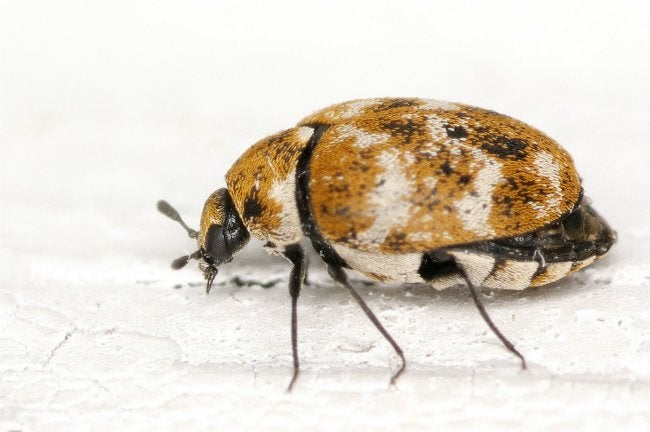 How to Get Rid of Carpet Beetles - Bob Vila