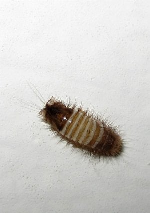 How to Get Rid of Carpet Beetles - Carpet Beetle Larvae