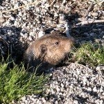 how to get rid of gophers bob vila