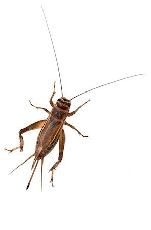 How to Get Rid of Crickets - Insect Detail 2