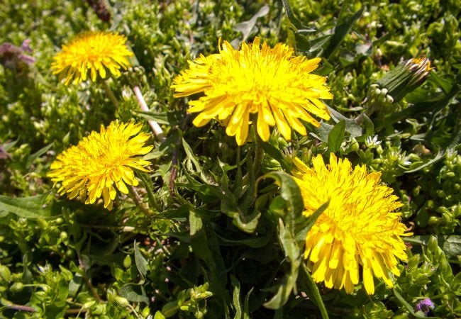 Best Way to Kill Weeds - Dandelion