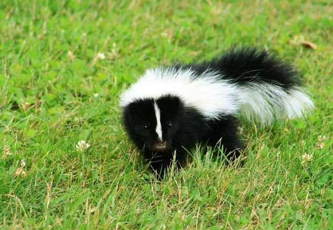 how to get rid of skunk smell bob vila. Black Bedroom Furniture Sets. Home Design Ideas