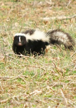 Skunk In Backyard how to get rid of skunk smell - bob vila