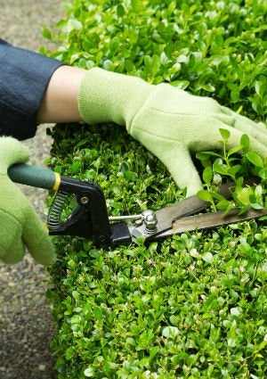 Pruning Shrubs - Clippers