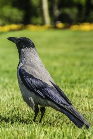 How To: Get Rid of Crows - Bob Vila