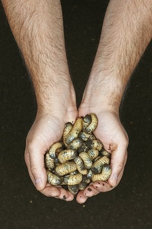 How To Get Rid Of Grubs Bob Vila