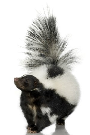 How to Get Rid of a Skunk