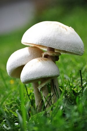 Mushrooms in the Lawn - Mushroom Growth