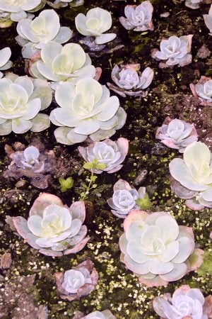 How to Propagate Succulents - Budding Succulents from Leaves