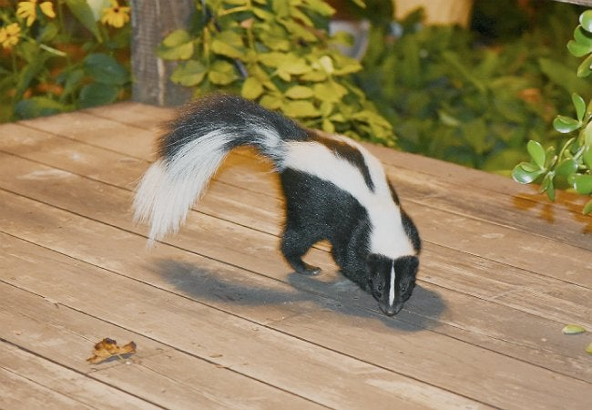 Skunk In Backyard how to get rid of a skunk - bob vila