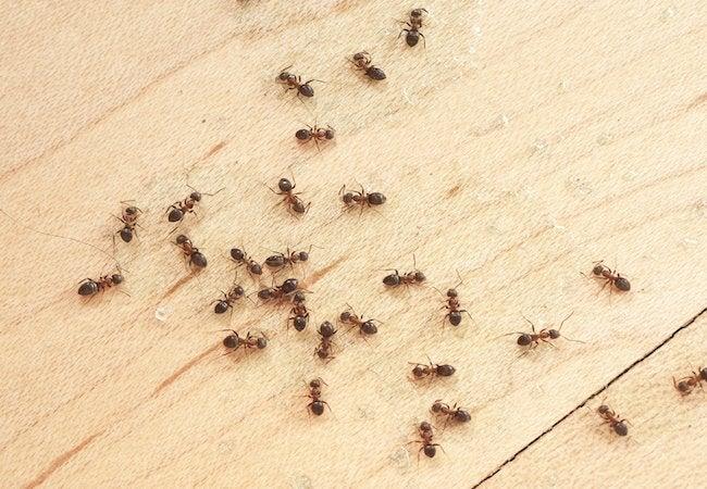 Homemade Ant Trap - 3 Recipes - Bob Vila