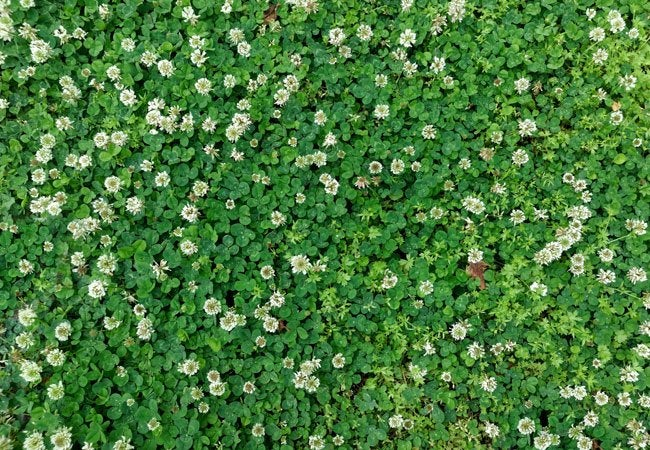 How To Get Rid Of Clover Bob Vila