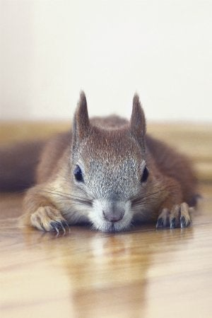 squirrel-in-attic-2