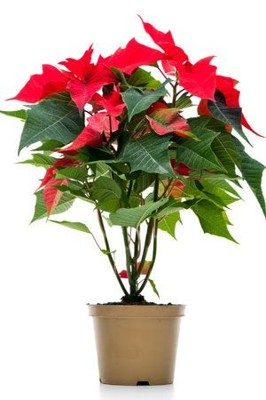 Poinsettia Care Do S And Don Ts
